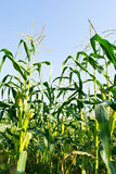 Green field of corn growing up Stock Photography
