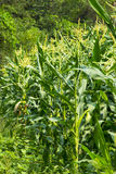 Green field of corn growing up Royalty Free Stock Image