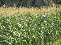 Green field of corn growing up. At Thailand Stock Images