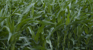 Green field with corn Stock Photo