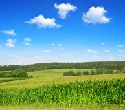A green field of corn Stock Photos