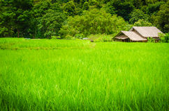 Green field and a cottage. Nice green rice field and a cottage Royalty Free Stock Photos