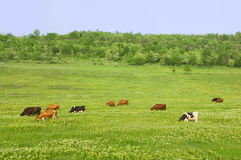 Green field with cows. Field with perfect green grass and cows Stock Photo