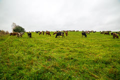 Green field with cows in the country Royalty Free Stock Image