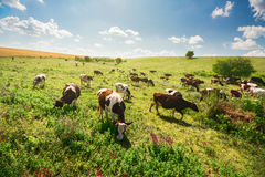 Green field with cows Royalty Free Stock Photo