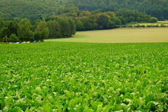Green field with crop. Royalty Free Stock Images