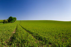 Green field crops and blue sky Royalty Free Stock Photography