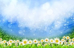 Green field with daisy flowers Royalty Free Stock Images