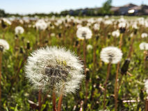 Green Field of Dandelions Stock Images