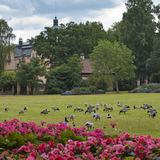 Green field with ducks in Stockholm Stock Photography
