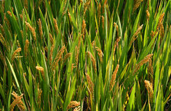 Green field with ears of rice Stock Image