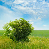 Green field, elderberry bushes blooming and blue sky Royalty Free Stock Image