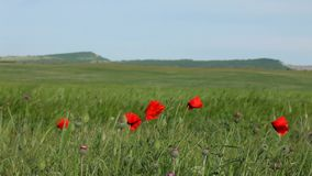 On A Green Field Few Red Poppies stock video footage