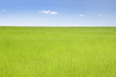 Green field of flax Stock Image