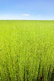Green field of flax under blue sky Royalty Free Stock Image