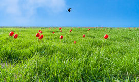 Green field with flowering tulips against the blue of the sky w. Green field with flowering red tulips against the blue of the sky with a flying black raven royalty free stock photo