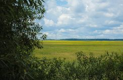 Green field with flowering yellow and forest on the horizon in Belarus Stock Images