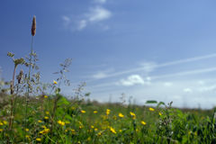 Green field with flowers Royalty Free Stock Image
