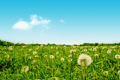 Green field with fluffy dandelion flowers Stock Photo