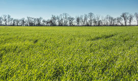 Green field and forest belt Royalty Free Stock Photo