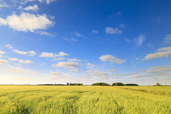Green field with fresh and bright wheat Royalty Free Stock Photo