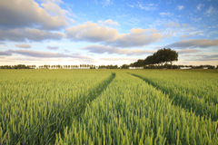 A green field with fresh wheat in summer Royalty Free Stock Photography
