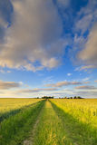 A green field with fresh wheat in summer Stock Image