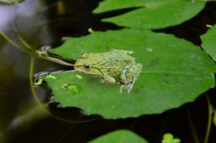 Green field frog on water lily leaves in the water. Green field frog on water lily leaves in the freshwater pond Stock Photo