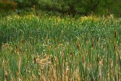 Green field full of Typha flowering plants, also called bulrush,. Reedmace, cattail, corn dog grass during Autumn in Tasmania, Australia Stock Photo