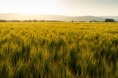 Green field full of wheat during sunset royalty free stock image