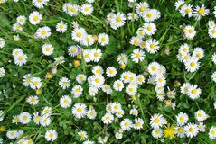 Green field full of white daisies Royalty Free Stock Photos
