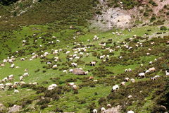 Green field and goats at Tibet Stock Image