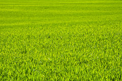 Green field of grain in late spring on a sunny day Royalty Free Stock Images