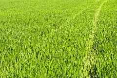 Green field of grain in late spring on a sunny day Royalty Free Stock Photography
