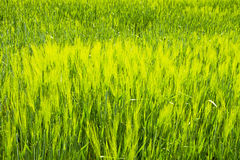 Green field of grain in late spring on a sunny day Stock Images