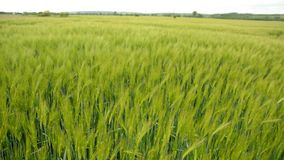 Green field of the grain stock video