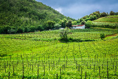 Green field with grapes in Tuscany Royalty Free Stock Photos
