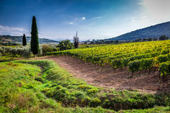 Green field with grapes in Tuscany Royalty Free Stock Image