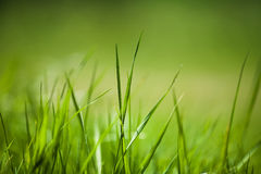 Green field of grass. Background of freshly grown sprouts of grass, shallow depth of field royalty free stock photo