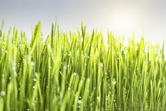 Green field grass against the sky. Green lawn grass against the sky Royalty Free Stock Photos