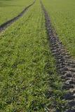 Green field. Field grass, green carpet, traversed by the wheel tracks Stock Photos