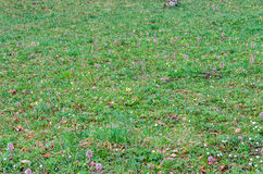 Green field with grass and colored wild flowers, outdoor texture Stock Photography
