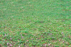 Green field with grass and colored wild flowers, outdoor texture Royalty Free Stock Photo