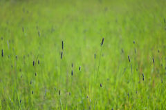 Green field with a grass and ears Royalty Free Stock Images