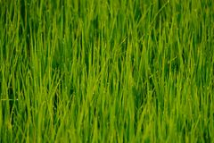 A green field of grass. In the morning with morning dew on top of each leaf Stock Photography