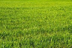Green field of grass texture background. A green grass field in the italian countryside Royalty Free Stock Photo