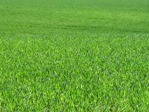 Green field of grass waving by wind. On a bright sunny day royalty free stock photo
