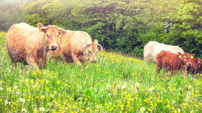 Green field with grazing cows at sunny summer day stock footage