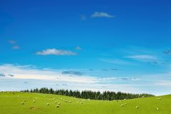 Green field and grazing sheep. New Zealand landscape, green field and grazing sheep Royalty Free Stock Photography