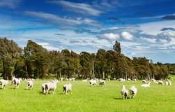 Green field and grazing sheep stock photos